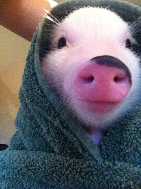 And a pig in a towel.