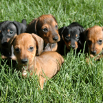 Miniature dachshunds were bred to hunt rabbits.