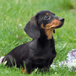 In the American West, Dachshunds were used to chase prairie dogs.
