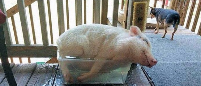 This pig has an interesting take on the ice bucket challenge.