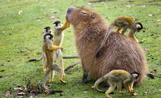 How do you clean your capybaras? I prefer monkey service.