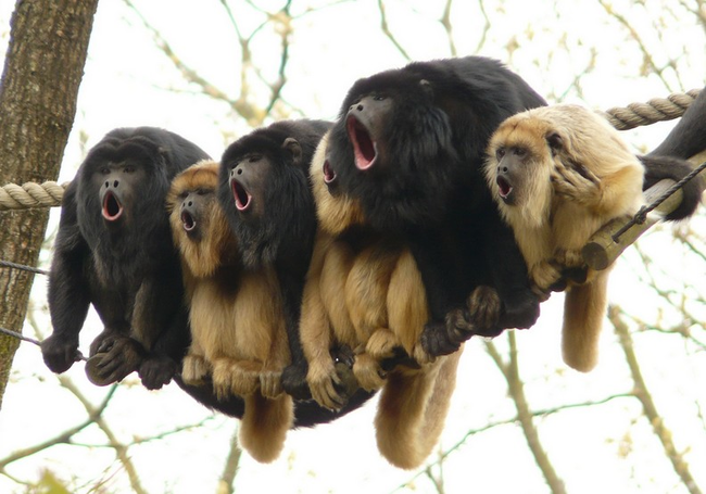 I picture these monkeys harmonizing a Beach Boys song.