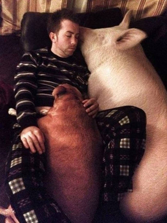 Sweet swine dreams.