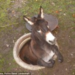 Nilo became stuck, hind legs first, in an open manhole after escaping from a petting zoo.