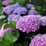 Change the color of your hydrangeas.
