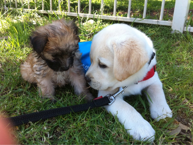 One of these pups will help a disabled person get around, the other will sit on your lap and yap at strangers.