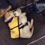 Even assistance dogs need to snuggle with a teddy bear now and then.