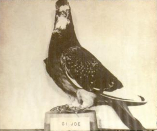 G.I. Joe the pigeon
