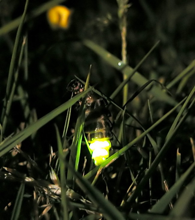 Glowworm lanterns