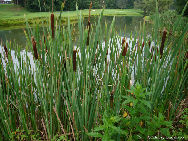These canes, often seen in swampy and water-logged areas, have edible roots and can provide food if you are hungry and lost.