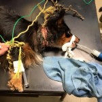 The rope was so deep in his flesh that he had to be sedated, having it surgically removed. The operation was a success...