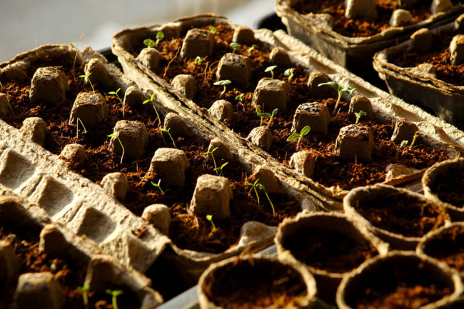 You can also use them as seed starters. They