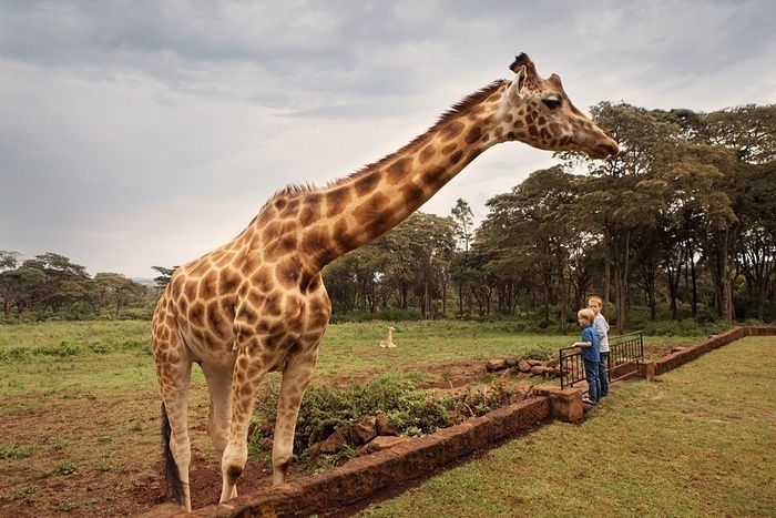 The giraffes live in harmony with the guests in the Manor.