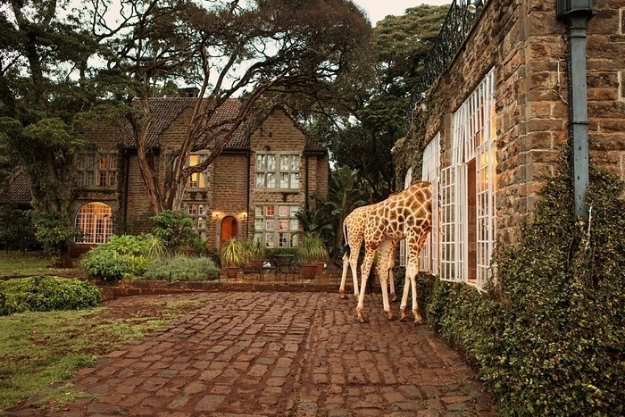 The giraffes visit the manor twice a day for food.