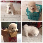 cute-puppy-white-fluffy papersnack.com
