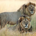 cecil-lion-illegal-hunting-internet-backlash-walter-palmer-zimbabwe-11-e1438177005296