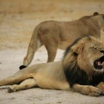 cecil-lion-illegal-hunting-internet-backlash-walter-palmer-zimbabwe-12-e1438176481860