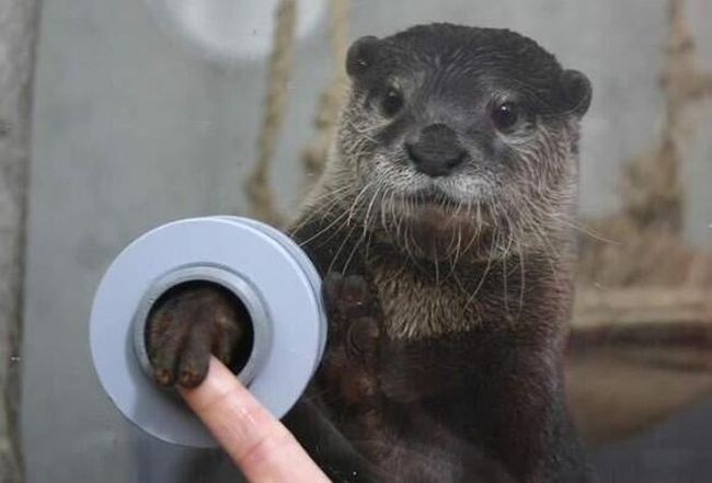 An aquarium visitor holding hands with an otter.