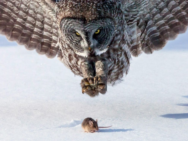 An owl about to catch a mouse.