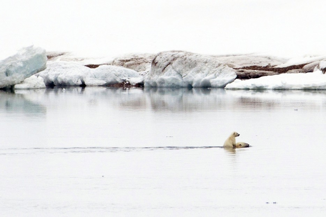 A polar bear cub riding its mother to shore.