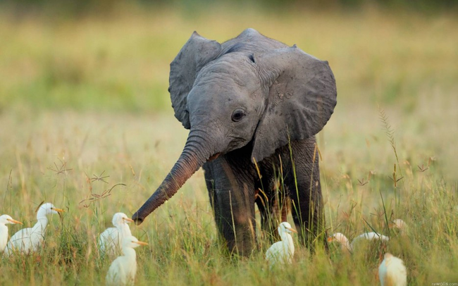 A baby elephant frolicking with birds.