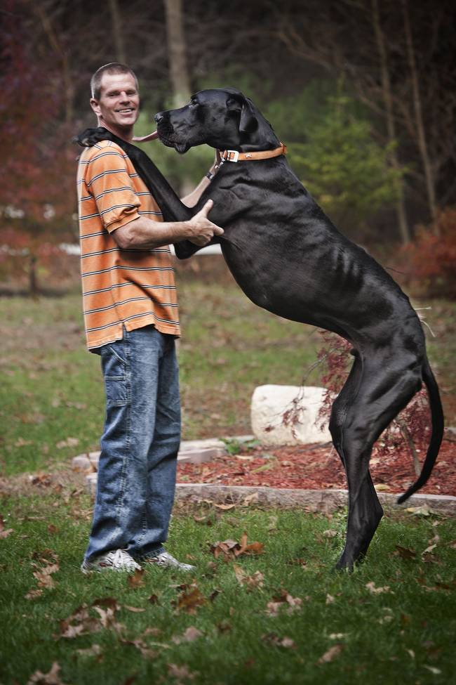 This is Zeus, who held the record for largest dog ever at 7