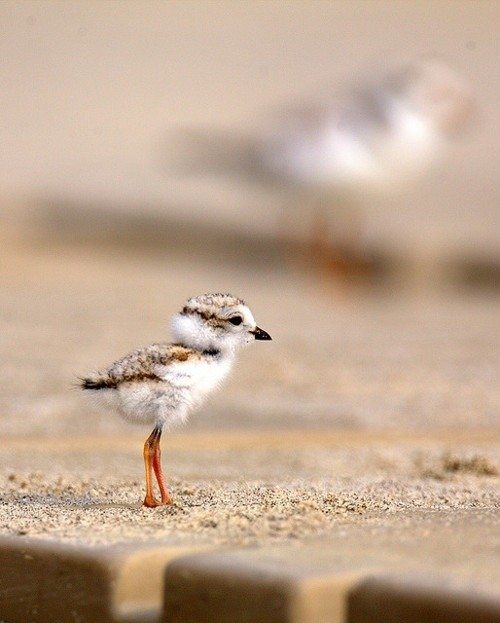 A fluffy seagull baby is adorable...until he gets older and tries to steal your sandwich while you picnic at the beach.