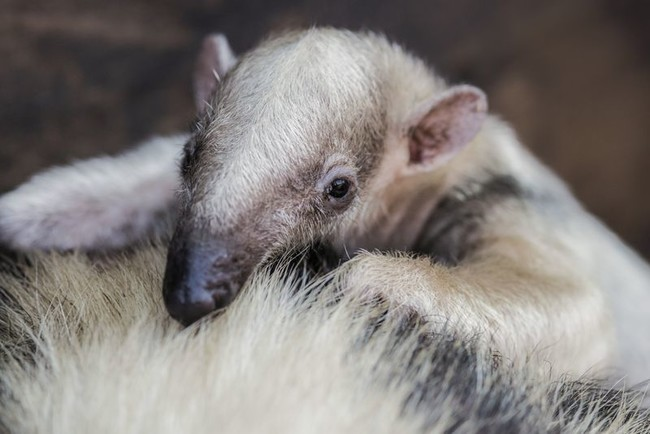 A baby anteater. That is all.