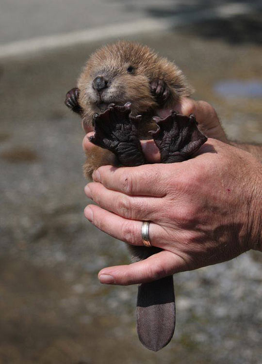 Who knew baby beaver feet were this amazing?