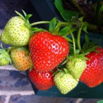 strawberries-56995_640