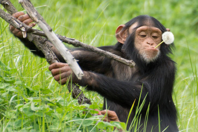 Baby chimpanzee girls will carry sticks around like a doll and care for it like their mother does for them.