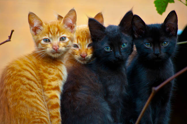 The term for a group of domestic cats is a