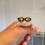 Something a little different - My leopard gecko, Onyx, wearing barbie glasses.