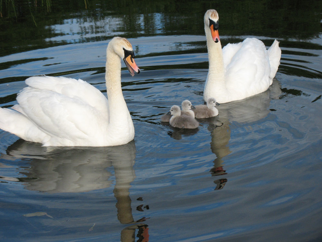 A ballet of swans.