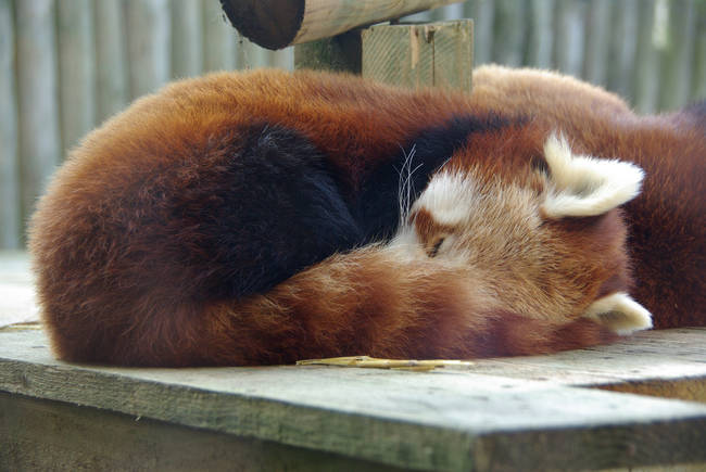 Red pandas use their tails as built-in blankets to stay warm.