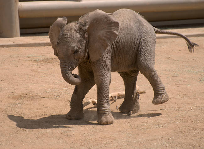 Like human babies with their thumbs, baby elephants suck on their trunks for comfort.