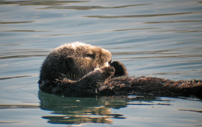 Sea otters have pockets under their forearm where they tuck away food and favorite rocks.