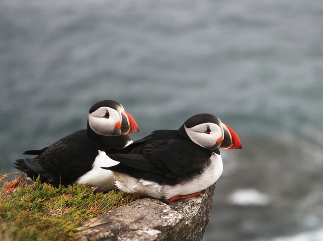 Puffins mate for life, each year only laying one egg to be raised by both mom and dad.