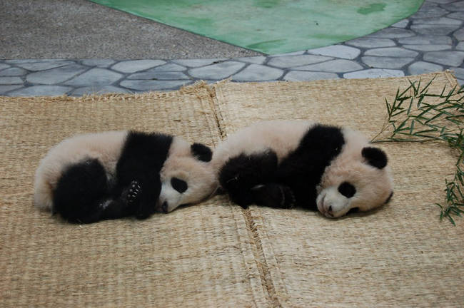 Baby pandas only weigh about as much as a cup of tea at birth.