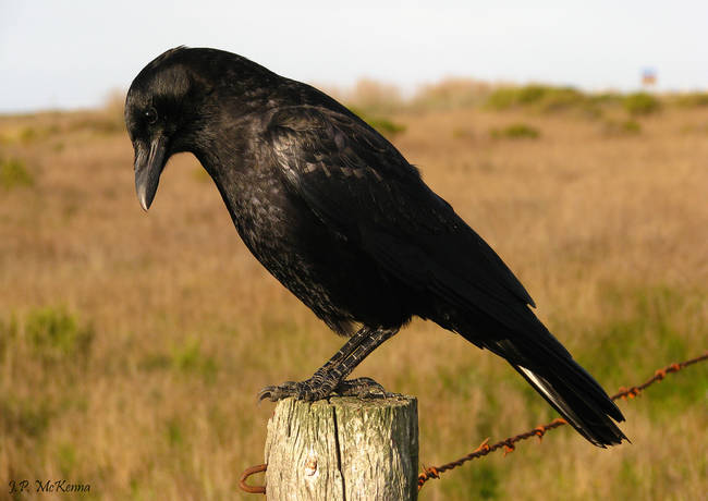 Crows enjoy playing pranks and tricks on each other.