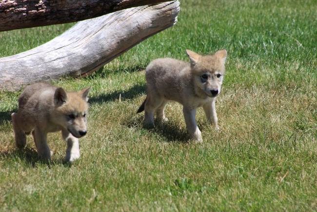 Wolves will leave babysitters with their cubs when the parents are required to leave for hunting.