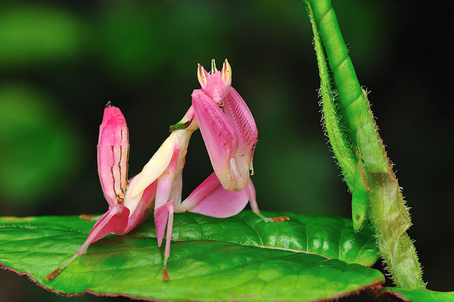 Pink Orchid Mantis