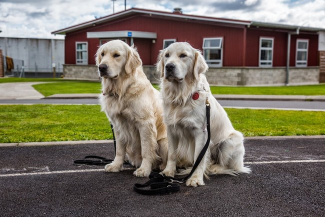 These pups are part of a mobility dog training program in which prison inmates train the dogs.