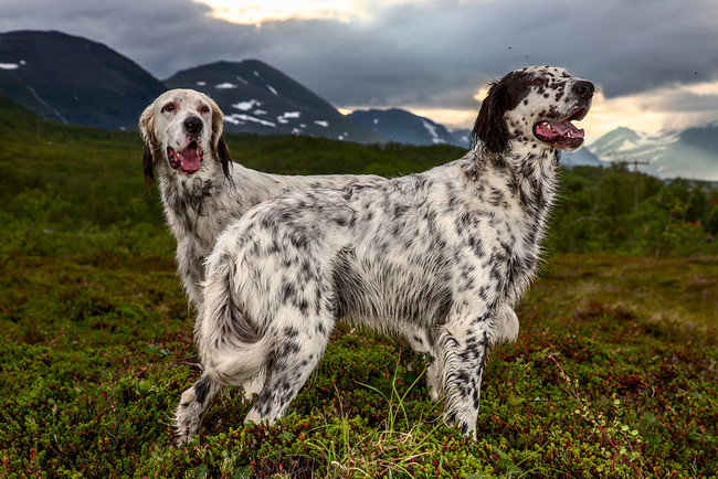 These particular pooches in Norway are such good bird hunters that people come from all over to put their expertise to use.