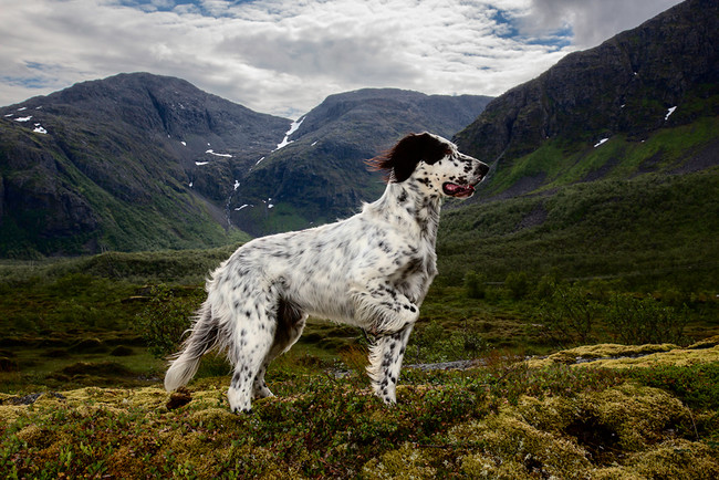 English Setters have hunting in their blood.