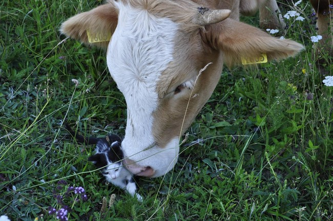Everyone loves tiny kittens — cows are no exception.