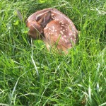 A baby deer decided my backyard was the perfect place for a nap