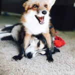 Foxes sit on things they want to own. Like this.