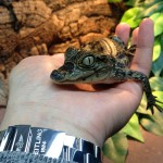 My baby spectacled Caiman.