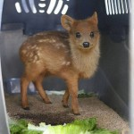 The world's smallest deer, the pudú